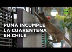 Enlace a Un puma pasea por la calle en Chile en plena cuarentena