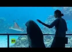 Enlace a Un león marino sale a pasear por un acuario vacío