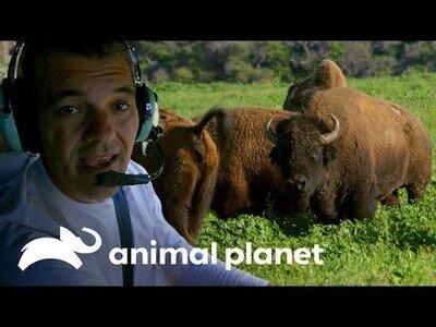 Wild Frank visita la isla del bisonte americano