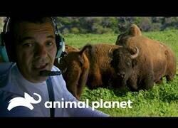 Enlace a Wild Frank visita la isla del bisonte americano
