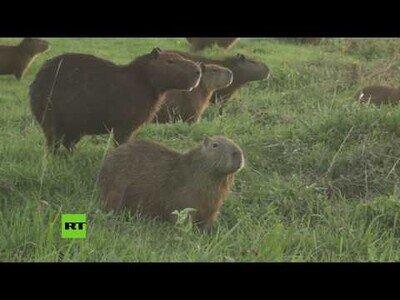 Capibaras se apoderan de un club de golf en bolivia durante la pandemia