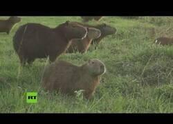 Enlace a Capibaras se apoderan de un club de golf en bolivia durante la pandemia