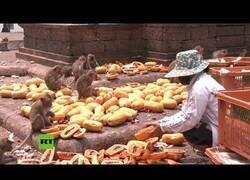 Enlace a Mercaderes tailandeses dan de comer a los monos mientras se hunde el turismo de la zona