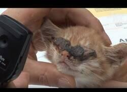 Enlace a Operan a un gato ciego al que no se le desarrollaron bien los ojos