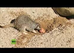 Enlace a La pascua ha comenzado para las suricatas del Zoo de Londres