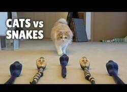 Enlace a Gatos contra serpientes falsas, ¿cómo reaccionarán?