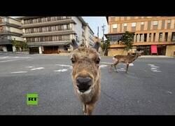 Enlace a Ciervos campan a sus anchas por las calles de Nara, Japón