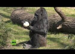 Enlace a La gorila más vieja del mundo celebra su 63º cumpleaños en el zoo de Berlin