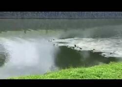 Enlace a Pelea entre dos clanes de nutrias por la propiedad de un territorio