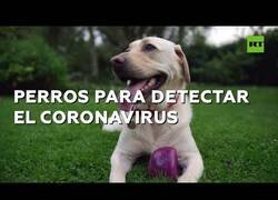 Enlace a Entrenan a perros para detectar el coronavirus