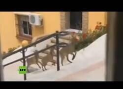 Enlace a Cabras montesas pasean por la calles de Morón de la Frontera, en Andalucía