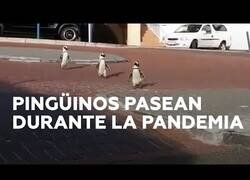 Enlace a 3 pingüinos pasean por las calles de una ciudad en Sudáfrica