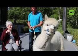 Enlace a Alpacas visitan un asilo para animar a los residentes durante el confinamiento