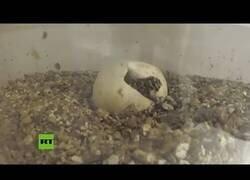 Enlace a Nacen crías del lagarto más grande del mundo