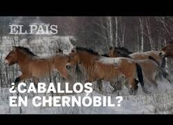 Enlace a Aparecen caballos en la zona de exclusión de Chernóbil