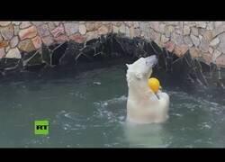 Enlace a Una osa polar quiere jugar al voleibol con su cuidadores
