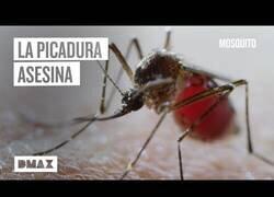 Enlace a Los mosquitos y su capacidad de transmitir enfermedades