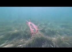 Enlace a Así son las olindias: una de las medusas más extrñas y peligrosas del mundo