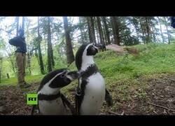 Enlace a Pingüinos salen a pasear por el bosque aprovechando que su zoo está cerrado