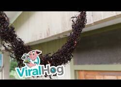 Enlace a Hormigas construyen un inmenso puente hecho de hormigas