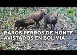 Enlace a Captan a unos extraños perros de monte en Bolivia