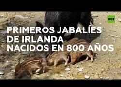 Enlace a Nacen los primeros jabalíes de Irlanda en 800 años