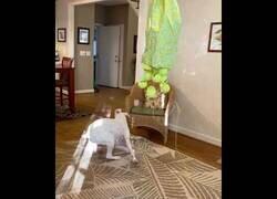 Enlace a Un Boxer contra una piñata trampa