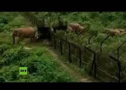 Enlace a Elefantes cruzan la frontera entre la India y Bangladesh