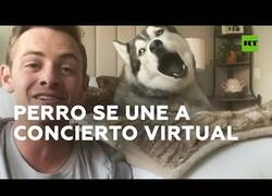 Enlace a El perro de un cantante se une al concierto online de su dueño