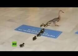 Enlace a Una familia de patos se cuela en un centro comercial
