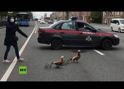 Enlace a Bloquean una avenida para que una familia de patos pueda cruzar