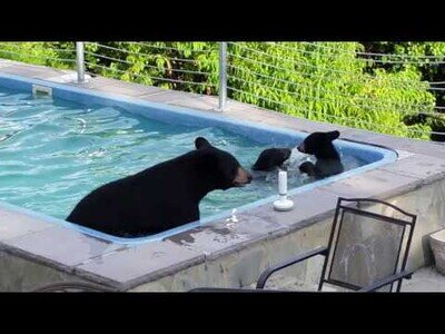 Una familia de osos se baña en una piscina particular