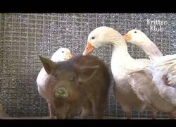 Enlace a Un cerdo es defendido de otros cerdos por una banda de gansos