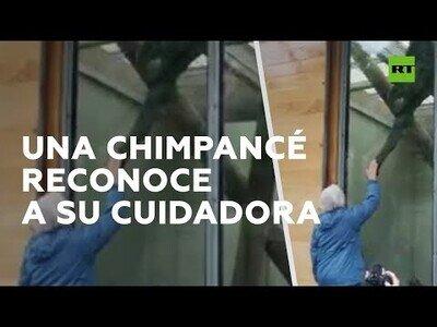 Una chimpancé reconoce a su cuidadora 40 años después