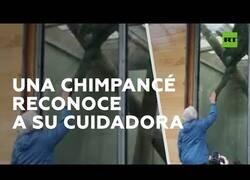 Enlace a Una chimpancé reconoce a su cuidadora 40 años después