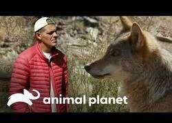 Enlace a Wild Frank visita un santuario con 11 manadas de lobos