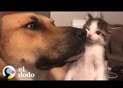 Enlace a La bonita amistad entre un gran perro y una pequeña gatita