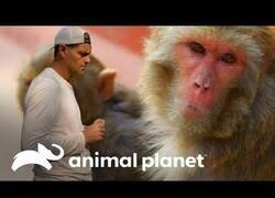 Enlace a Wild Frank no sonríe ante los monos del Nepal
