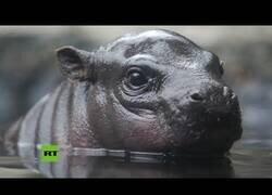 Enlace a Así descubre una cría de hipopótamo pigmeo su nuevo hábitat