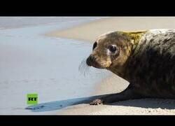 Enlace a Momento en el que liberan a una foca que habían encontrado deshidratada