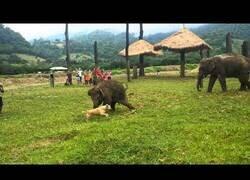Enlace a Un perro escapa de un bebé elefante
