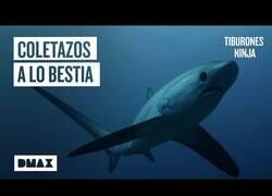 Enlace a El tiburón que caza a sus presas a base de coletazos