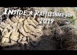 Enlace a Explorando un nido de serpientes cascabel