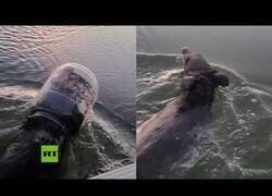 Enlace a Ayudan a un oso que nadaba por un lago con un contenedor de plástico en la cabeza