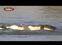 Enlace a Una pelea entre cocodrilos hace que uno de ellos pierda el hocico