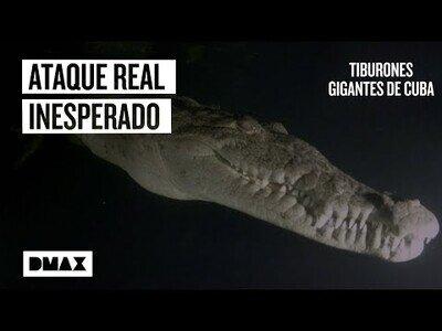 Un cocodrilo ataca a una mujer nadando entre tiburones