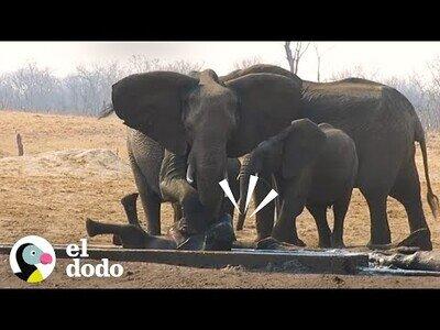 Una manada de elefantes se cordina para rescatar a una de sus crías y mantener alejados a los leones