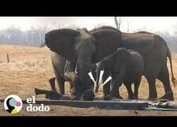 Enlace a Una manada de elefantes se cordina para rescatar a una de sus crías y mantener alejados a los leones