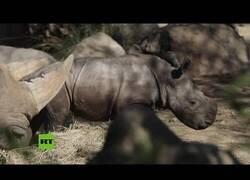 Enlace a Nace el primer rinoceronte blanco en suelo latinoamericano