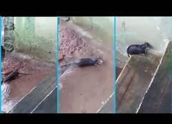 Enlace a Una rata rescata una por una a sus crías tras inundarse su madriguera